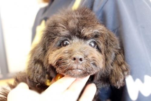 トイプードルの子犬(ID:1255411939)の1枚目の写真/更新日:2018-03-27