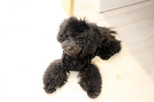 トイプードルの子犬(ID:1255411939)の2枚目の写真/更新日:2018-03-27