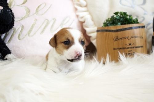 ジャックラッセルテリアの子犬(ID:1255411941)の2枚目の写真/更新日:2018-04-11