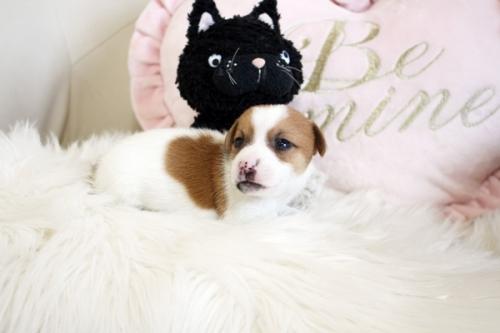 ジャックラッセルテリアの子犬(ID:1255411941)の3枚目の写真/更新日:2018-04-11