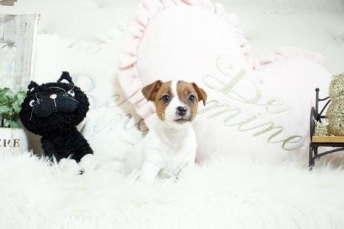 ジャックラッセルテリアの子犬(ID:1255411942)の1枚目の写真/更新日:2018-03-27