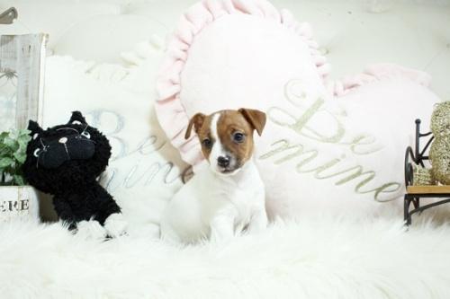ジャックラッセルテリアの子犬(ID:1255411942)の3枚目の写真/更新日:2020-02-10