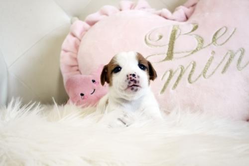 ジャックラッセルテリアの子犬(ID:1255411943)の1枚目の写真/更新日:2018-03-27