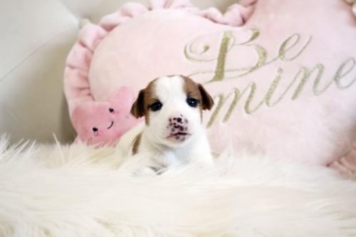 ジャックラッセルテリアの子犬(ID:1255411943)の2枚目の写真/更新日:2019-11-27