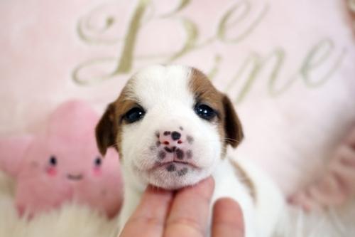 ジャックラッセルテリアの子犬(ID:1255411943)の3枚目の写真/更新日:2018-03-27