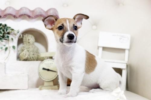 ジャックラッセルテリアの子犬(ID:1255411944)の1枚目の写真/更新日:2018-03-27