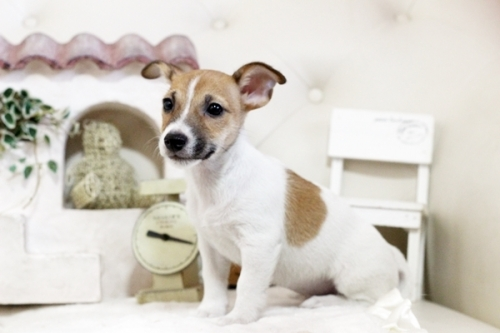 ジャックラッセルテリアの子犬(ID:1255411944)の2枚目の写真/更新日:2018-03-27
