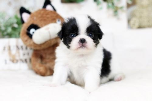 狆(チン)の子犬(ID:1255411946)の1枚目の写真/更新日:2018-04-03