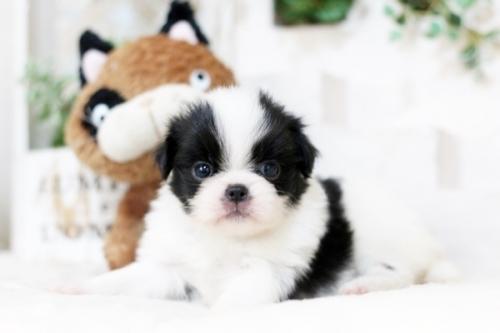 狆(チン)の子犬(ID:1255411946)の2枚目の写真/更新日:2018-04-03