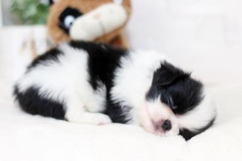 狆(チン)の子犬(ID:1255411946)の3枚目の写真/更新日:2018-04-03