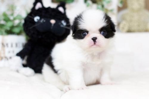 狆(チン)の子犬(ID:1255411947)の1枚目の写真/更新日:2018-04-03