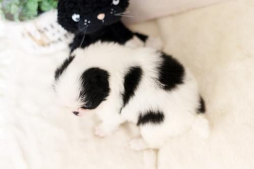 狆(チン)の子犬(ID:1255411947)の4枚目の写真/更新日:2018-04-03