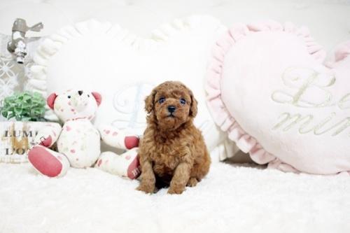 トイプードルの子犬(ID:1255411948)の1枚目の写真/更新日:2018-04-03