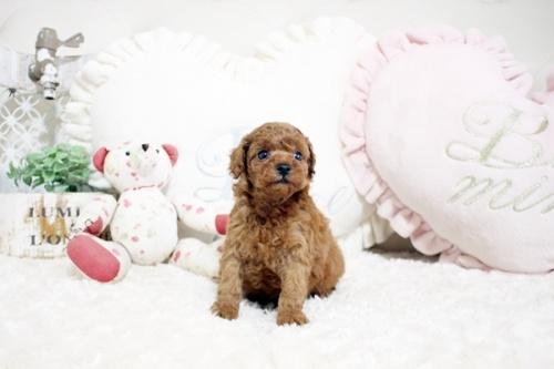 トイプードルの子犬(ID:1255411948)の2枚目の写真/更新日:2018-04-03