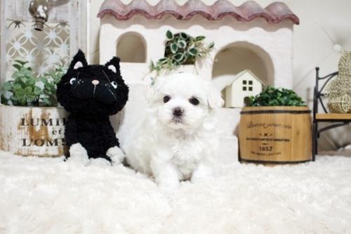 マルチーズの子犬(ID:1255411949)の1枚目の写真/更新日:2018-04-08
