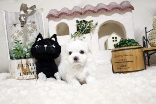 マルチーズの子犬(ID:1255411949)の2枚目の写真/更新日:2018-04-08