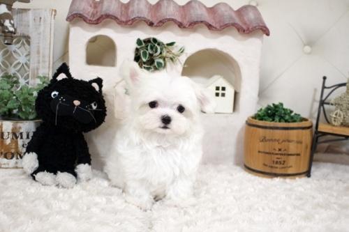 マルチーズの子犬(ID:1255411950)の2枚目の写真/更新日:2018-04-08