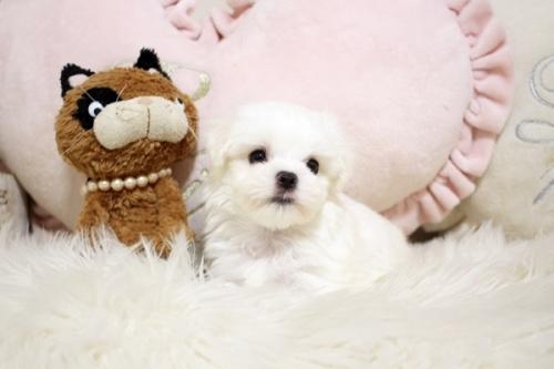 マルチーズの子犬(ID:1255411951)の1枚目の写真/更新日:2018-04-08