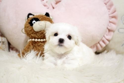マルチーズの子犬(ID:1255411951)の2枚目の写真/更新日:2018-04-08