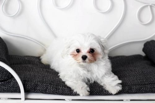 マルチーズの子犬(ID:1255411952)の2枚目の写真/更新日:2018-04-08