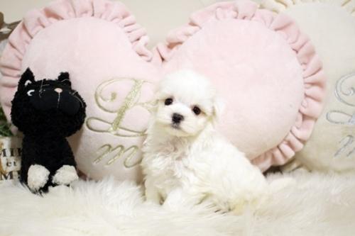 マルチーズの子犬(ID:1255411953)の2枚目の写真/更新日:2018-04-08