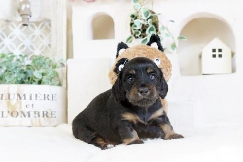 カニンヘンダックスフンド(ロング)の子犬(ID:1255411954)の1枚目の写真/更新日:2018-04-08