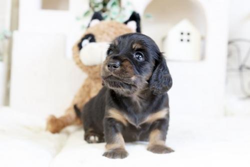 カニンヘンダックスフンド(ロング)の子犬(ID:1255411954)の2枚目の写真/更新日:2018-04-08
