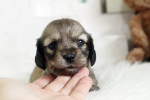 カニンヘンダックスフンド(ロング)の子犬(ID:1255411955)の1枚目の写真/更新日:2018-04-08