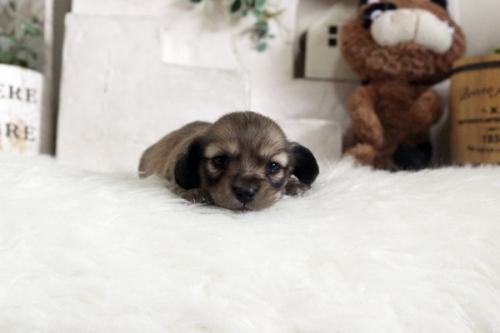 カニンヘンダックスフンド(ロング)の子犬(ID:1255411955)の2枚目の写真/更新日:2018-04-08