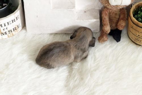 カニンヘンダックスフンド(ロング)の子犬(ID:1255411955)の3枚目の写真/更新日:2020-06-05