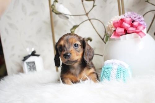 カニンヘンダックスフンド(ロング)の子犬(ID:1255411956)の1枚目の写真/更新日:2018-04-08