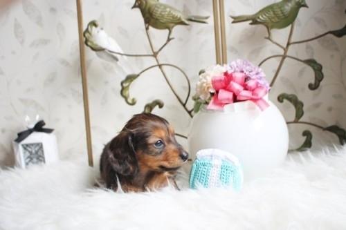 カニンヘンダックスフンド(ロング)の子犬(ID:1255411956)の2枚目の写真/更新日:2018-04-08