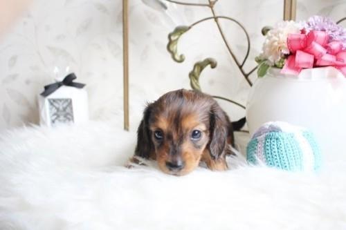 カニンヘンダックスフンド(ロング)の子犬(ID:1255411956)の3枚目の写真/更新日:2018-04-08