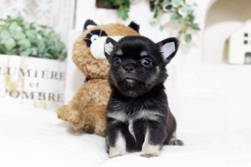 チワワ(スムース)の子犬(ID:1255411957)の1枚目の写真/更新日:2018-04-11