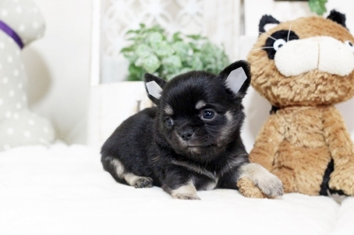 チワワ(スムース)の子犬(ID:1255411957)の2枚目の写真/更新日:2018-04-11