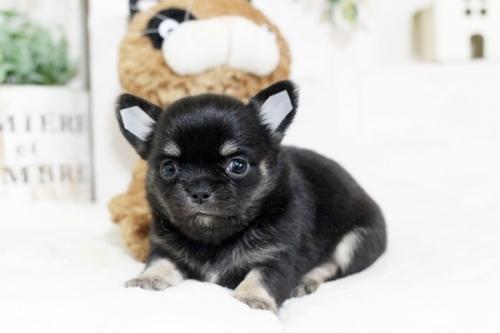 チワワ(スムース)の子犬(ID:1255411957)の3枚目の写真/更新日:2018-04-11