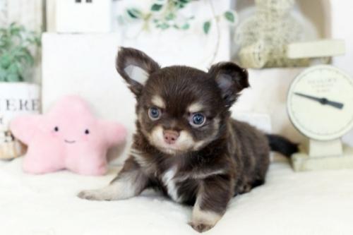チワワ(スムース)の子犬(ID:1255411958)の1枚目の写真/更新日:2018-04-11