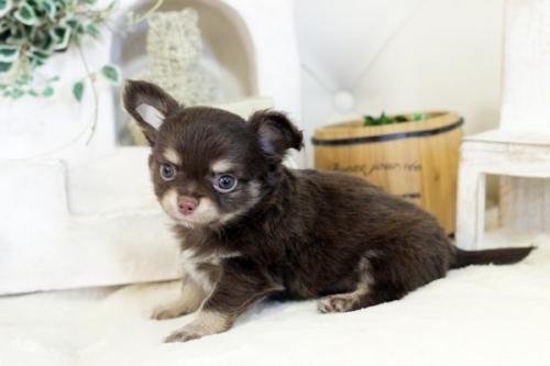 チワワ(ロング)の子犬(ID:1255411958)の2枚目の写真/更新日:2019-03-06