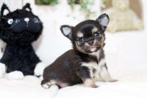 チワワ(ロング)の子犬(ID:1255411959)の1枚目の写真/更新日:2018-04-11