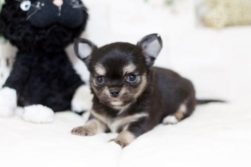 チワワ(ロング)の子犬(ID:1255411959)の2枚目の写真/更新日:2018-04-11
