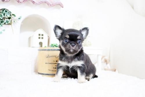 チワワ(ロング)の子犬(ID:1255411960)の1枚目の写真/更新日:2018-04-11