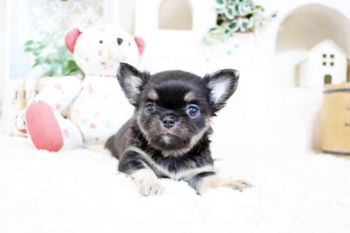 チワワ(ロング)の子犬(ID:1255411960)の2枚目の写真/更新日:2018-04-11