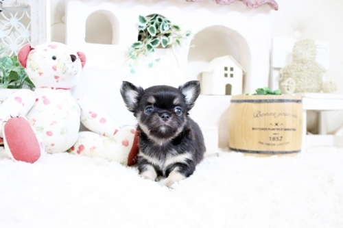 チワワ(ロング)の子犬(ID:1255411960)の3枚目の写真/更新日:2021-02-01