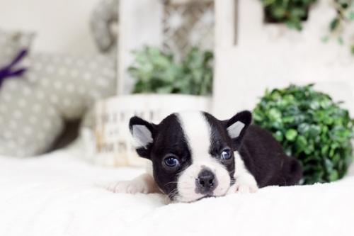 ボストンテリアの子犬(ID:1255411961)の1枚目の写真/更新日:2018-04-13