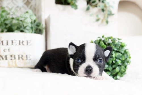 ボストンテリアの子犬(ID:1255411961)の2枚目の写真/更新日:2018-04-13