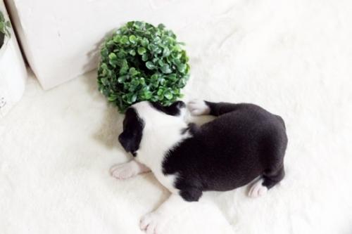 ボストンテリアの子犬(ID:1255411961)の3枚目の写真/更新日:2019-08-22
