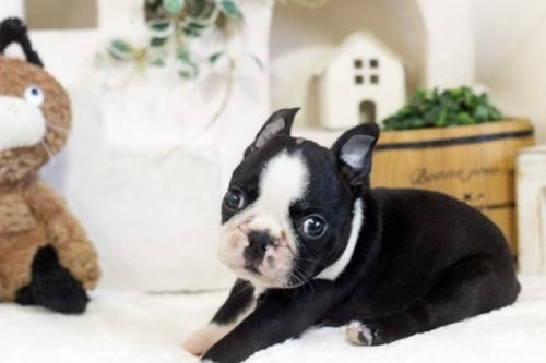 ボストンテリアの子犬(ID:1255411962)の1枚目の写真/更新日:2018-04-13