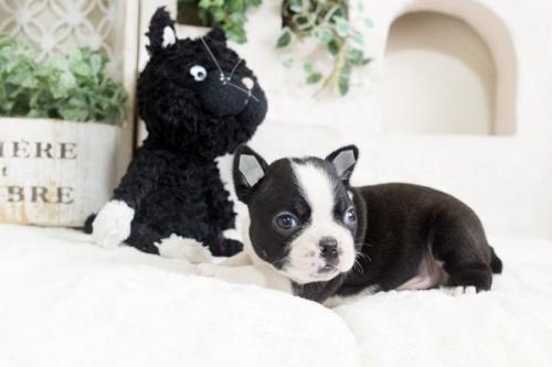 ボストンテリアの子犬(ID:1255411963)の3枚目の写真/更新日:2018-04-13