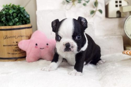 ボストンテリアの子犬(ID:1255411964)の1枚目の写真/更新日:2018-04-13