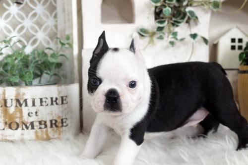 ボストンテリアの子犬(ID:1255411965)の1枚目の写真/更新日:2018-04-13
